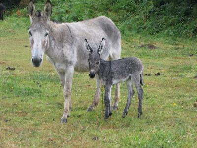 Honneur aux ânes  Anon-philomene-1